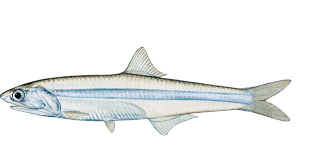 striped-anchovy