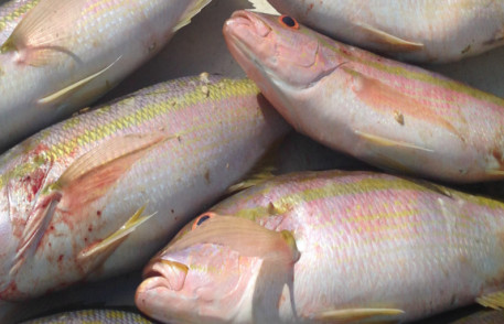 Yellowtail snapper caught with Fearless Fishing charters
